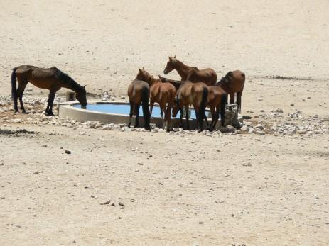 Feral horses, Namib desert